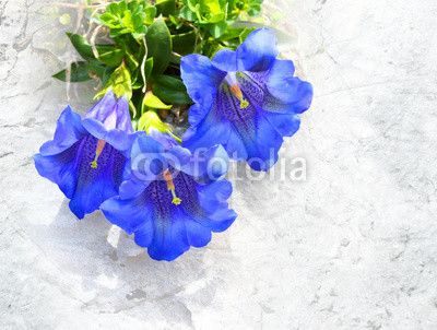 obraz lub plakat The Trumpet gentian (Gentiana Kochiana) is used in herbal medicine to treat digestive problems, fever, hypertension, muscle spasms, parasitic worms, sinusitis, and malaria. Picture with clipping path.
