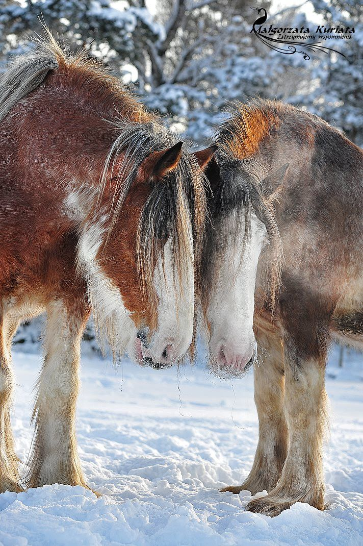 Clydesdales draft horses.