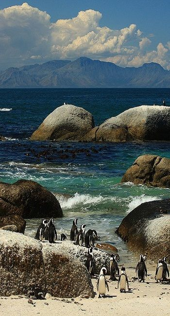 Penguins at Boulders Beach, in Cape Town, South Africa.