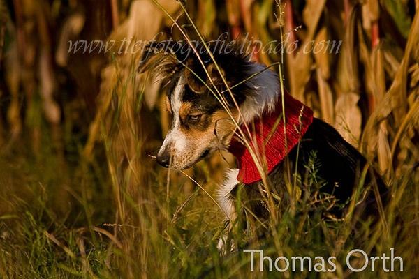 Hund, Herbst, nachdenklich, Maisfeld, traurig, Halswärmer