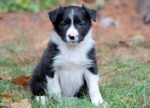 Border Collie puppy for sale in MOUNT JOY, PA. ADN-52557 on PuppyFinder.com Gender: Female. Age: 6 Weeks Old