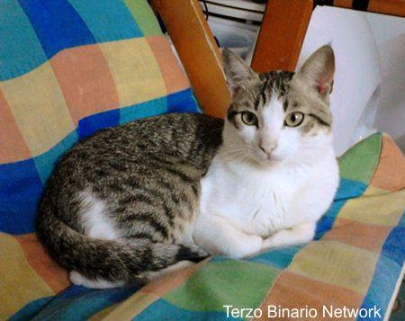 TARANTO: SMARRITO GIMMY, GATTO TIGRATO E BIANCO http://www.terzobinarionetwork.com/2015/09/taranto-smarrito-gimmy-gatto-tigrato-e.html