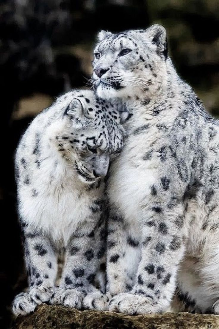 Snow cats of some kind with black spots on white fur. BIG PAWS. Great faces.   ***** Referenced by 1 Dollar Website Hosting  (WHW1.com):  Best Business Hosting. Affordable, Reliable, Fast, Easy, Advanced, and Complete.©  FREE Sites. Ask.
