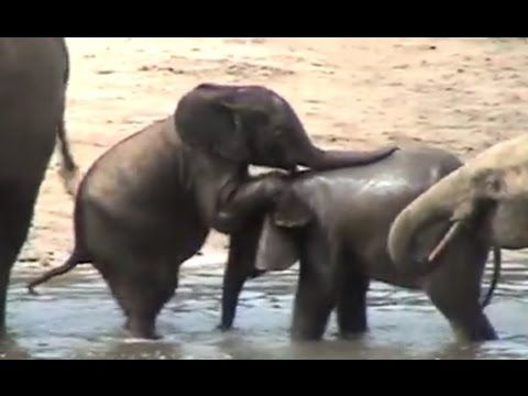 Cute Baby Elephants Playing In Water - YouTube