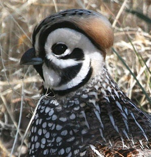 The Montezuma Quail (Cyrtonyx montezumae) is a stubby, secretive New World quail of Mexico and some nearby parts of the United States. It is also known as Mearns's Quail, the Harlequin Quail (for the male's striking pattern), and the Fool Quail (for its behavior).