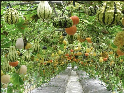 WOW!!! Wouldnt it be neat to grow a squash and gourd canopy like this one???? We will have to consider this for next year. Photo from P. Allen Smith.
