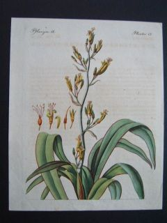 New Zealand Flax Bertuch. 1800. Hand colored copperplate engraving.  190 x 225 mm