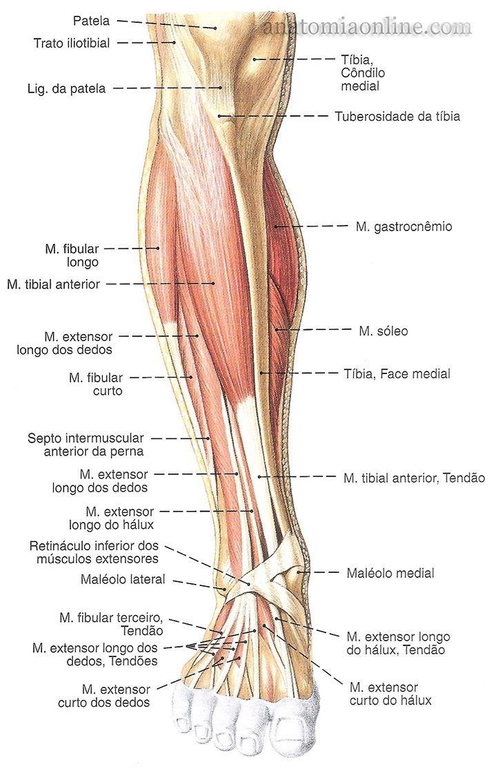 Musculos Do Membro Inferior Anatomia Da Perna Musculos Do Corpo