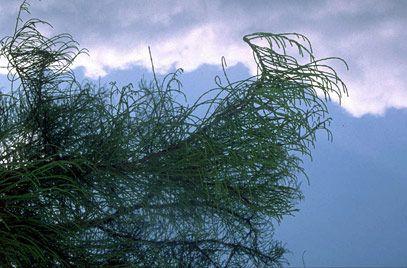 """Taxodium distichum var. Imbricarium """"Nutans"""""""