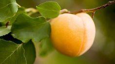 BOTRÁNY! Rákellenes vitamint titkol a gyógyszeripar!-Napi 12 szem sárgabarack mag és 3 hónap után leesik az állad!... -eltűnik a ráksejt és a daganat és ezt nem Amerikában találták fel mert 3 magyar doki már évek óta szajkózza ezt a tényt! MindenegybenBlog