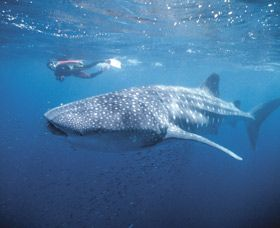 Swim with the Whale Sharks - Coral Bay in Western Australia. The snorkeling is fantastic, nothing like it.