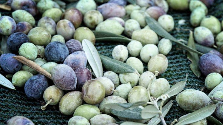 Το μάζεμα της ελιάς στον ελαιώνα Ελλάδιν. Παραγωγή βίντεο Digital Artworks http://www.digital-artworks.gr/