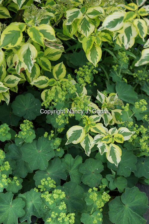 A garden combination of the yellow variegated foliage (leaves) of Golden Shadows pagoda dogwood (Cornus alternifolia 'W. Stackman') with the chartreuse flowers and fuzzy, scalloped foliage of lady's mantle (Alchemilla mollis)