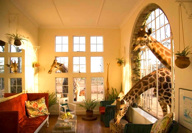 Stay at Giraffe Manor in Nairobi ;Giraffe Manor offers you an unparalleled experience of the giraffes, with them vying for you attention at the breakfast table, the front door and even your bedroom window