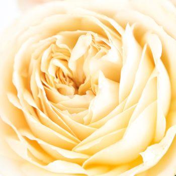 Cream Garden Rose 14 best fifty flowers images on pinterest | garden roses