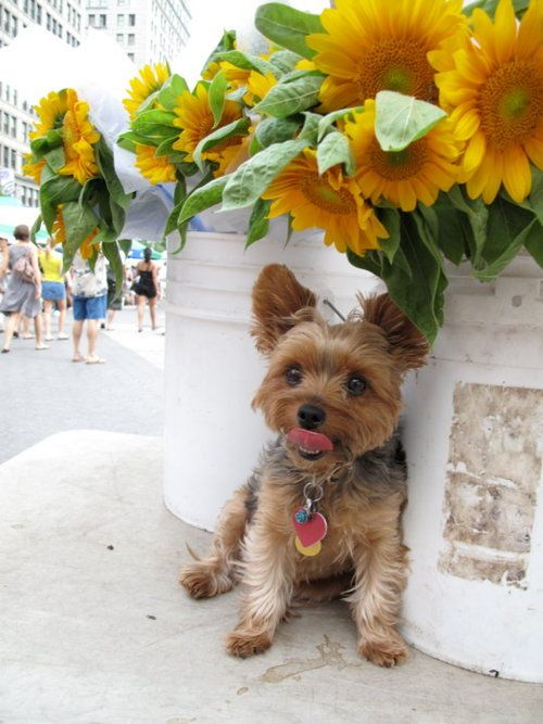 terrier and sunflowers