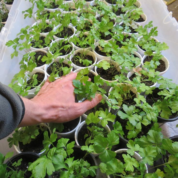 A Quick but Comprehensive Guide to Starting Vegetable Seeds Indoors:  Lights…