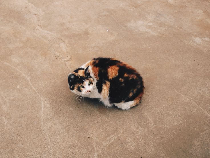 Caramel Cat - Japan