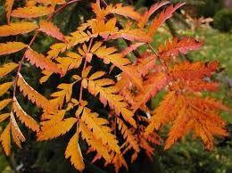 Résultats de recherche d'images pour «sorbus aucuparia rossica»