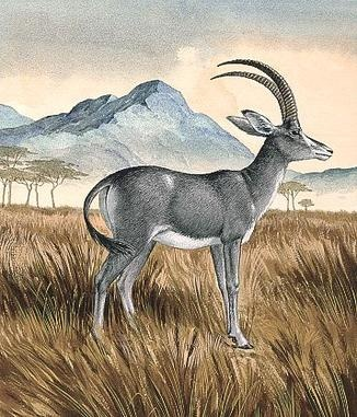 The bluebuck or blue antelope (Hippotragus leucophaeus), sometimes called blaubok, is an extinct species of antelope, the first large African mammal to disappear in historic times.  European settlers hunted it avidly, despite its flesh being distasteful, while converting its habitat to agriculture. The bluebuck became extinct around 1800. The blue colour may have derived from a mixture of black and yellow hairs.
