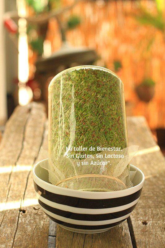 ¡Hola Amigos! Los germinados son alimentos vivos y esto aumenta su valor nutricional que se mantiene intacto hasta el momento en que se comen. Su alto contenido en enzimas, clorofila, aminoácidos, …