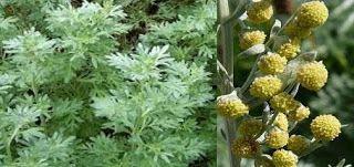 Denumirea ştiinţifică/în latină al pelinului este Artemisia absinthium L. Artemisia provine din numele zeiţei greceşti Artemis (în mitologia...