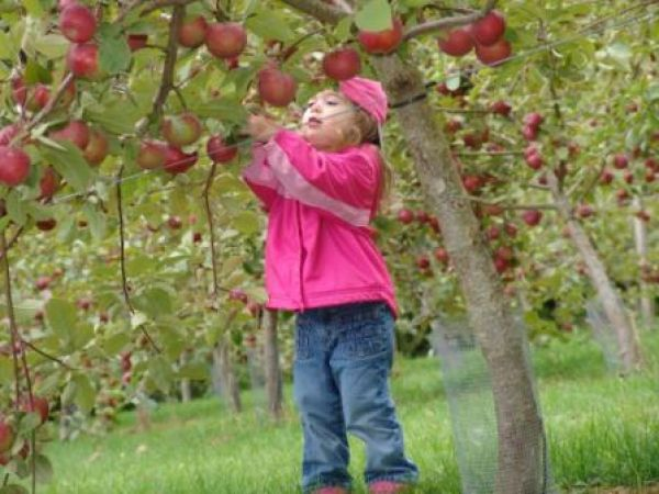 Olde Towne Orchard on #PEI is the perfect place to spend an afternoon picking apples! http://peiflavours.ca/index.php/flavours-trail/listing/Olde-Town-Orchards/