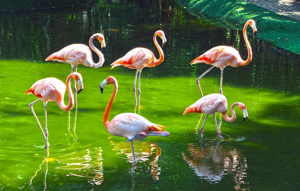 Обои картинки фото птицы, фламинго, зоопарк, краски