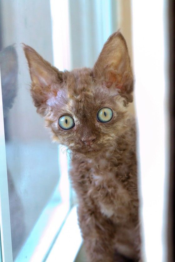 Devon Rex kittens for sale in Spring Hill, FL