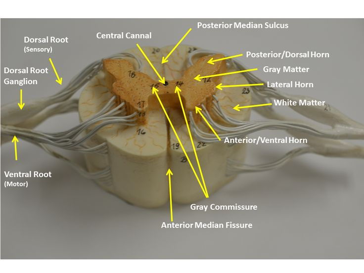 Spinal nerve anatomy