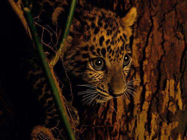 Big Cat Cub Pictures