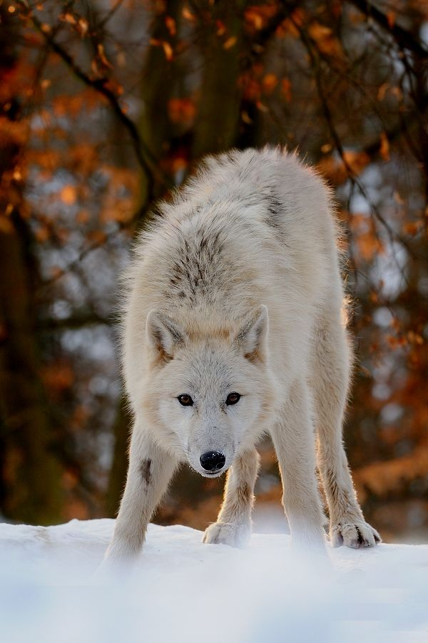 beautiful-wildlife: Arctic Wolf by Jaromír Kaderábek Source: nature-photogallery.eu