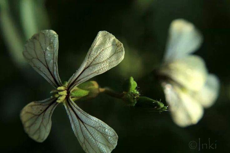 Eruca sativa