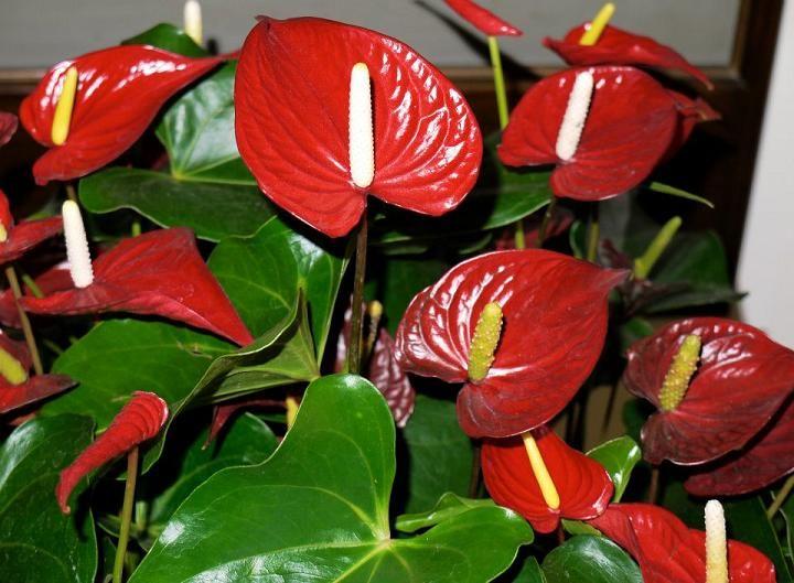 Anthurium Sensational Flower With A Heart Anthurium Plant Anthurium Lily Plants