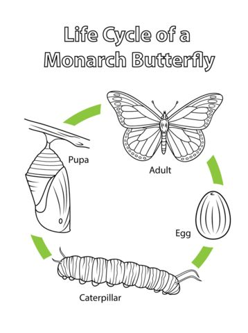 Life Cycle of a Monarch Butterfly coloring page from Butterfly category. Select from 20946 printable crafts of cartoons, nature, animals, Bible and many more.