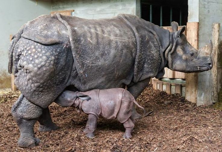 At Zoo Basel in Switzerland, an Indian Rhinoceros gave birth during the night on October 5. The calf, a boy, was given the name Kiran, a Hindi word for 'sunrise'. Kiran is nursing well and bonding well with his mother, 31-year-old Ellora. On his first day, Kiran weighed 150 pounds (68 kg) and stood 5.5 feet (168 cm) tall.