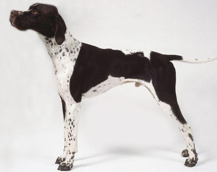 Pointer Özellikleri: Pointer, İngiliz Pointer olarak bilinir. Bu köpek çok aristokrat bir cinstir ve öyle görünür. Güç ve zarafetle yoğrulmuştur ve bunu vücudunda taşır. Pointer atletik bir yapıya sahiptir ve iyi kaslı vücuduyla kusursuz bir av köpeği olarak ün yapmıştır. Pointer için kürk derisi zemin rengi genellikle beyazdır, siyah, limon karaciğer ya da portakal rengi de içerebilir. Benekli , yamalı ya da katı olabilir. Göz rengi genellikle kürk rengine bağlıdır. Kestane ya da ela…