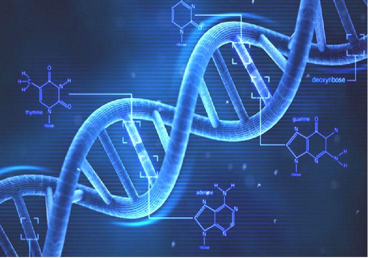 ADN L'acide désoxyribonucléique, ouADN, est unemacromoléculebiologique présente dans toutes lescellulesainsi que chez de nombreuxvirus. L'ADN contient toute l'information génétique, appeléegénotype, permettant le développement et le fonctionnement desêtres vivants. C'est unacide nucléique, au même titre que l'acide ribonucléique(ARN).