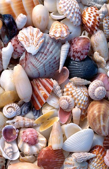 Sanibel seashells -- Henry Domke Photography... Nice mix