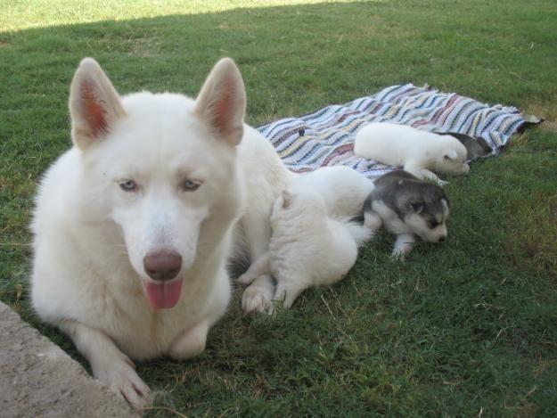 siberian husky puppies price | Zoe Fans Blog