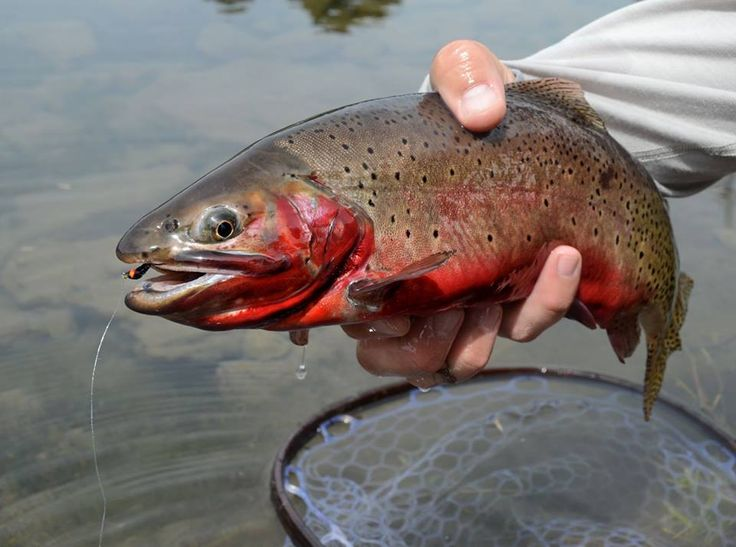 17 best images about colorado river cutthroat on pinterest for Best fishing in colorado