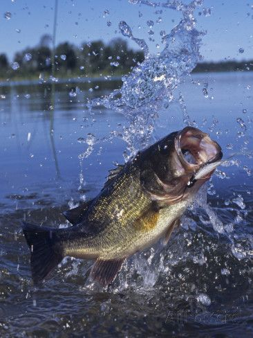 bass lure pictures | Largemouth Bass Surfacing with a Lure in its Mouth Photographic Print