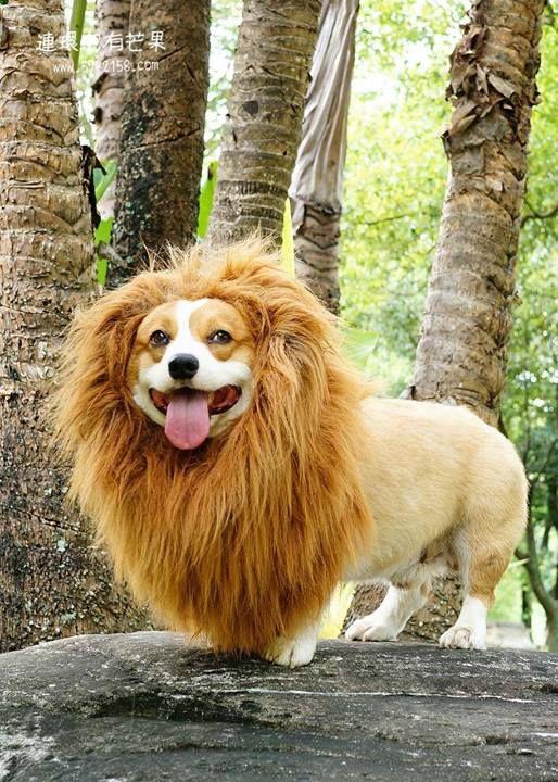 Corgi lion...RAWR!!