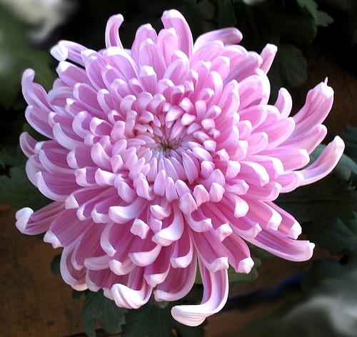 Chrysantemum by Maria*_*, via Flickr