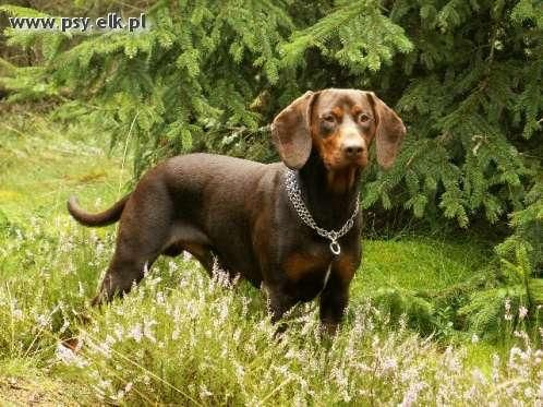 Gończy polski  / Polish Hunting Dog / Polish Scenthound  #Gonczy_polski #Polish_hunting_dog #Polish_scenthound #Dog_breeds #Polish_dogs #Polish_dog_breeds