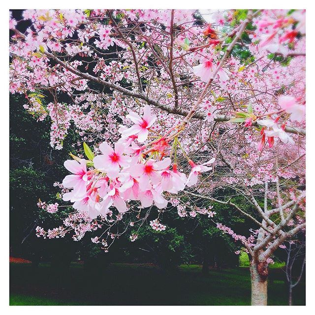【mariiiina1213】さんのInstagramをピンしています。 《* I know it's a bit weird for people in Japan... but here in NZ, cherry blossoms bloom in October🌸🌸🌸 . I miss Japan so bad😭💕💕 . ちらっとお花見行ってきました♡ 桜はやっぱり美しい...♡ でも、日本の桜満開ってもっともっと迫力があるよね❁ . #ニュージーランド #オークランド #お散歩 #春 #さくら #桜 #お花見 #海外生活 #日本が恋しい #🌸 #🍡 #🇯🇵 #🇳🇿 #sakura #cherryblossom #cherryblossoms #cherryblossomseason #spring #springtime #springisfinallyhere #auckland #NewZealand #imissjapan #lovejapan》