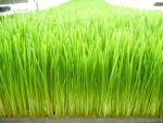 Weizengras - das Beste überhaupt