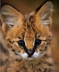 Resultado de imagen para serval