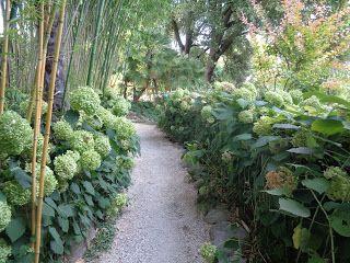 Hydrangea arborescens 'Annabelle' - Heller Garden (Gardone Riviera)