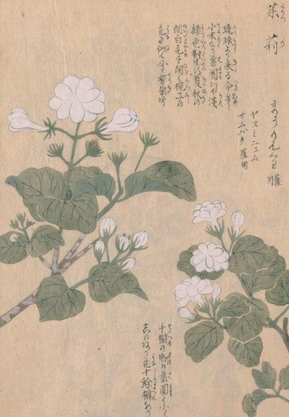 茉莉花(ジャスミン) Jasminum sambac (Arabian Jasmine)  本草図譜 岩崎灌園, Honzo-Zufu, KanEn Iwasaki (1830)
